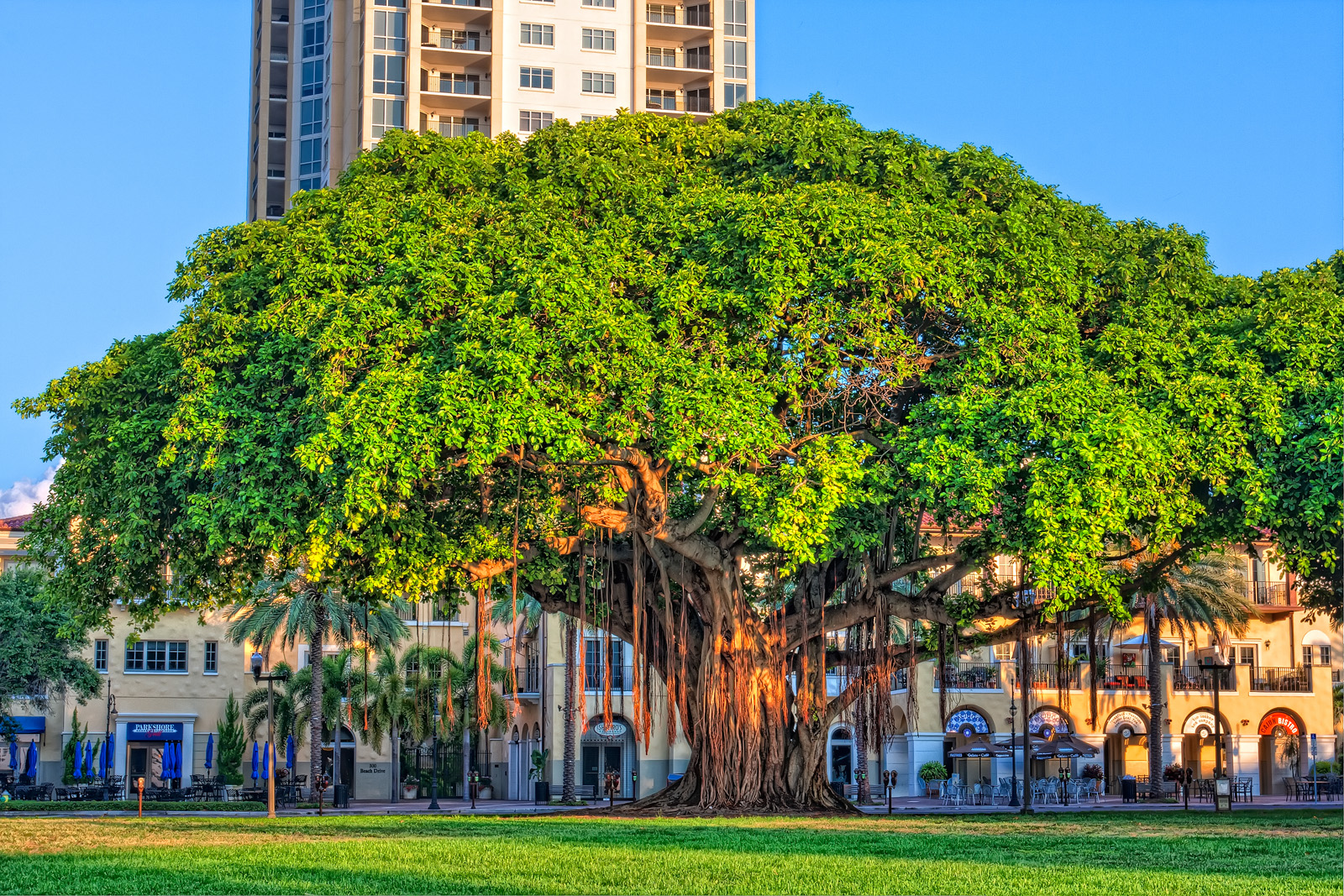 Banyan Tree after Sunrise