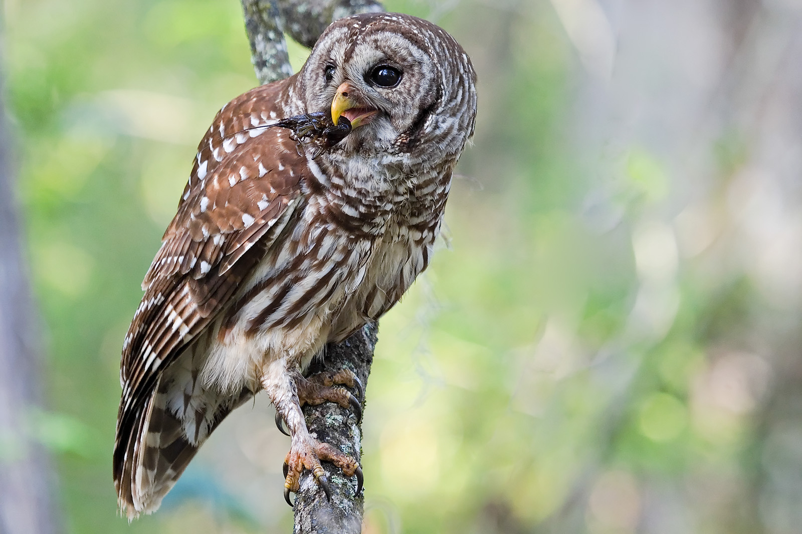 Barred Owl with Crayfish