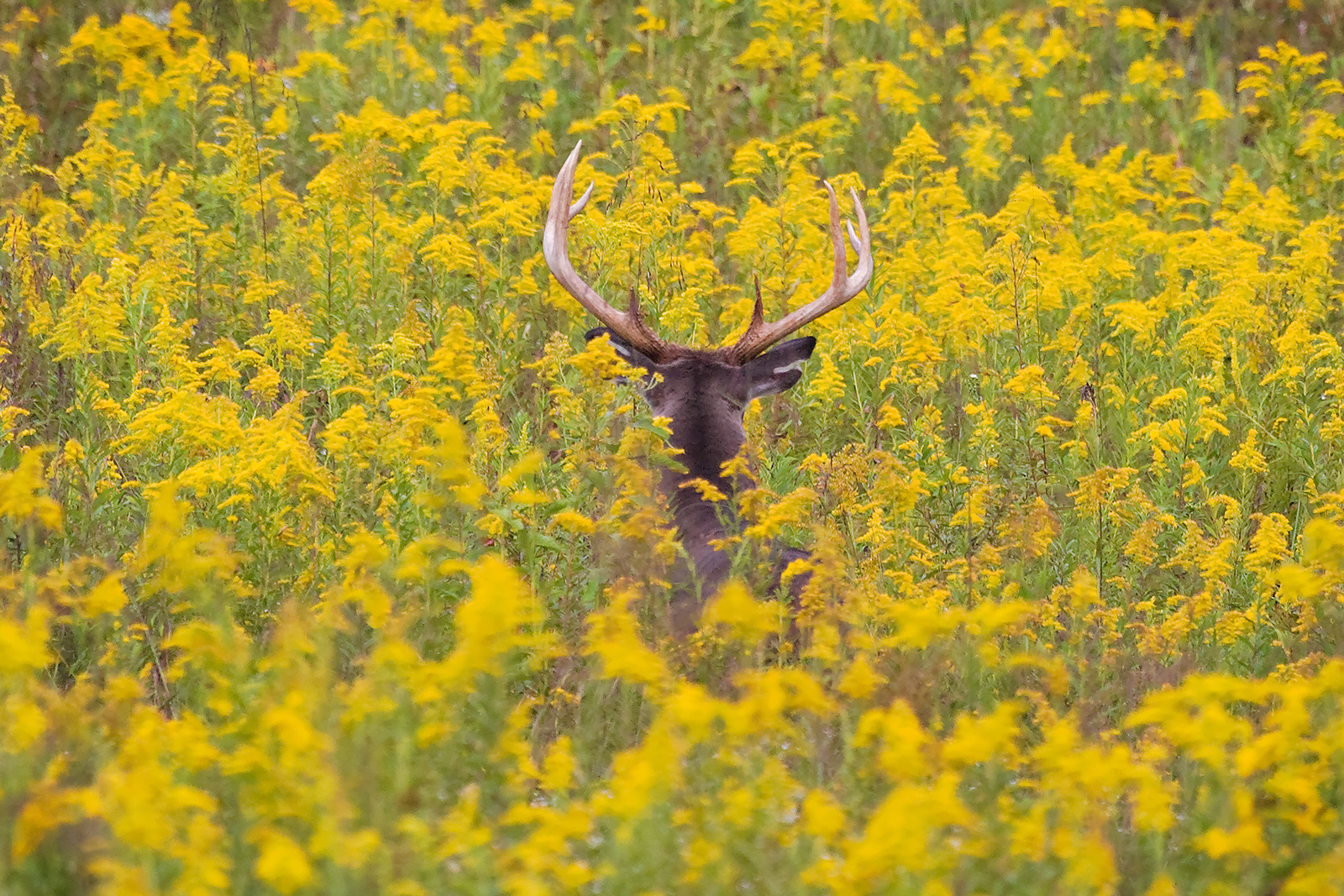 White Tailed Buck in Yellow Flowers