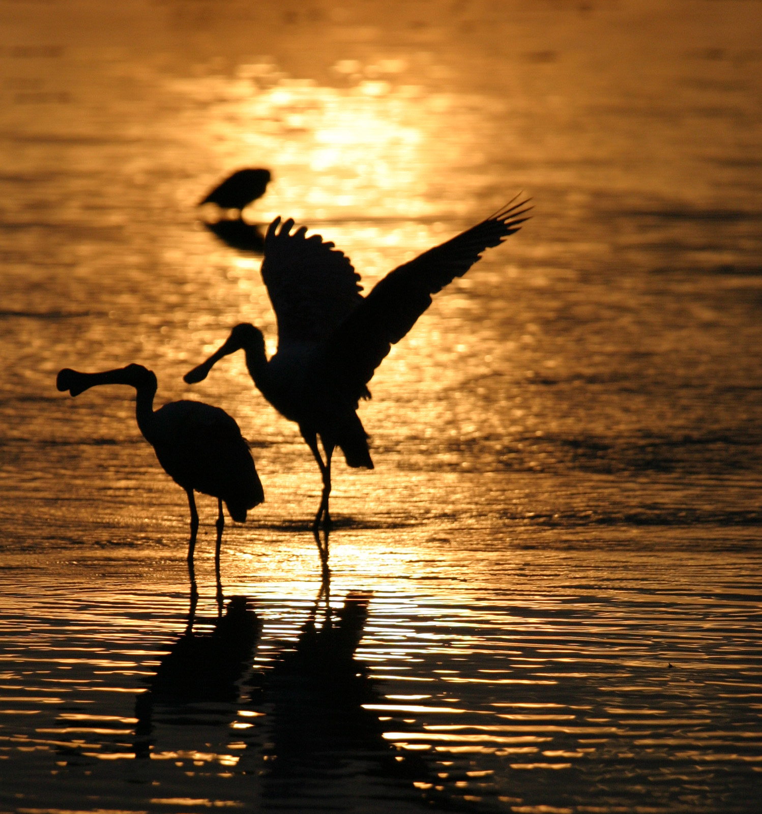 Roseate Spoonbill Silhouettes