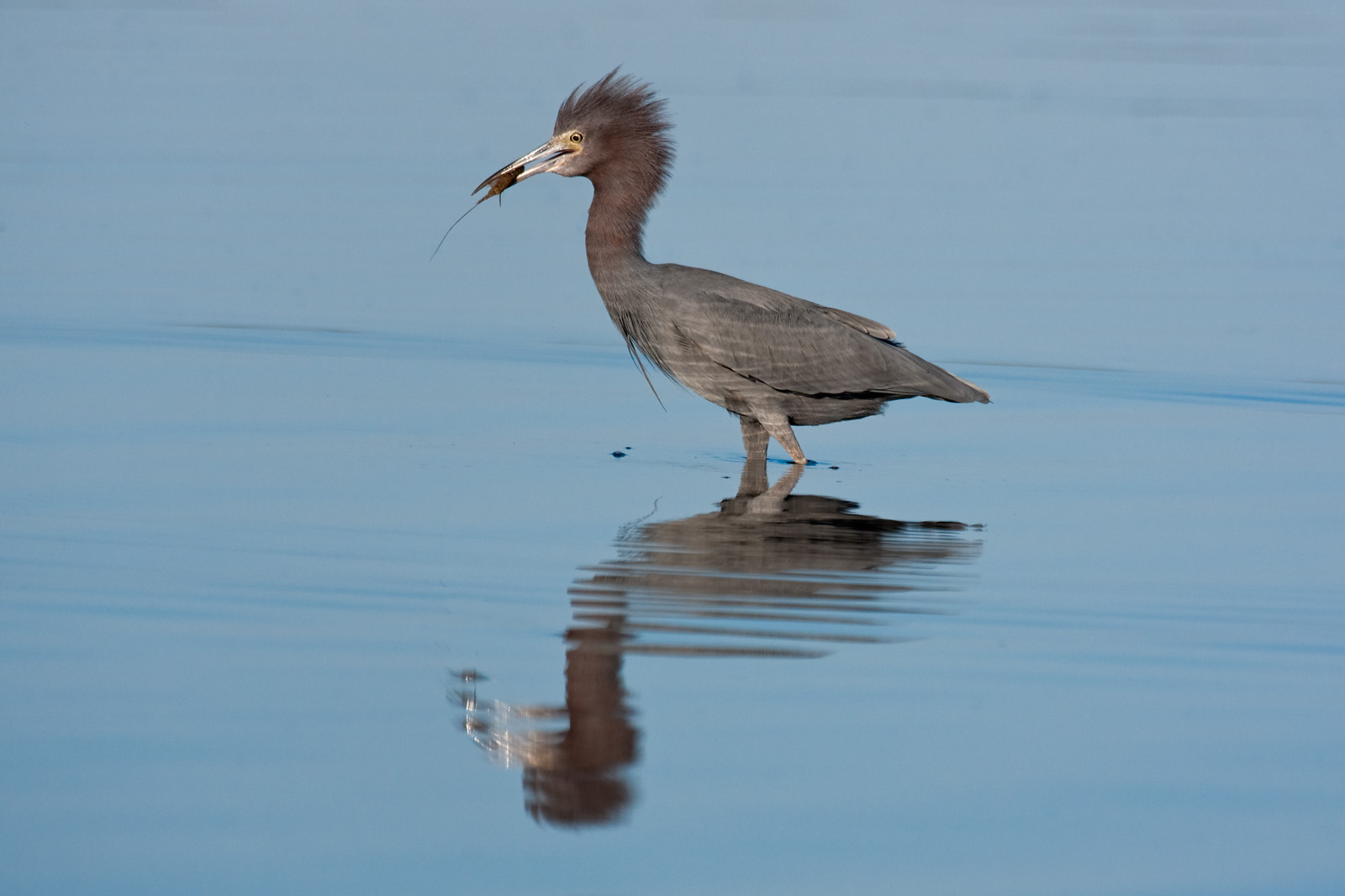 Ruffled Little Blue Heron