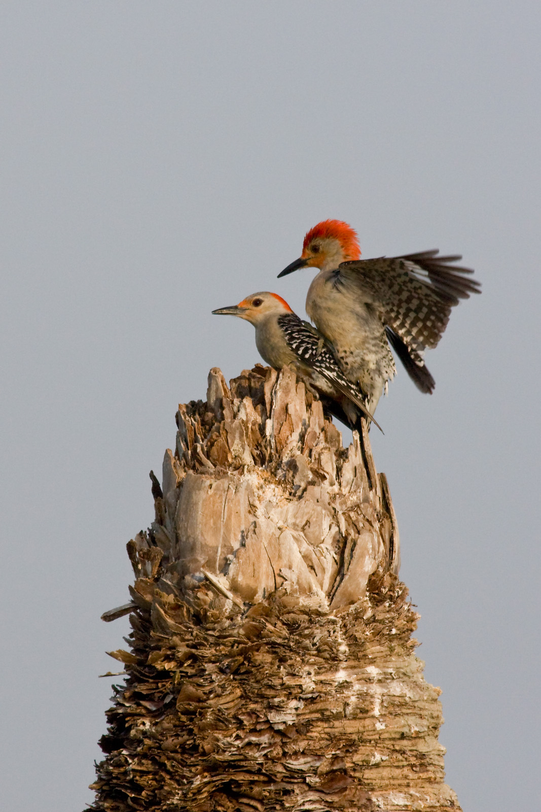 Red Bellied Woodpeckers Mating