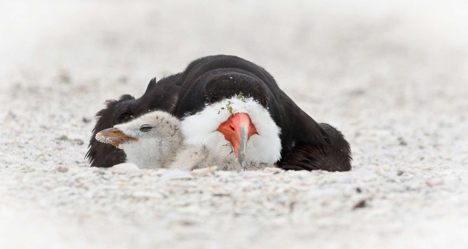 Black Skimmer Mother and Chick