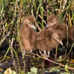Three Little Limpkins