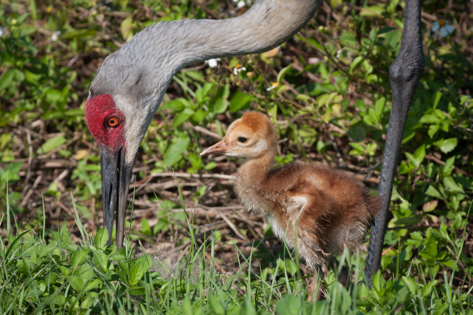 Sandhill Cranes at Circle B Bar Reserve