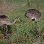 Sandhill Crane Parent Feeding Colt