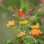 Gulf Fritillary Butterfly on flower