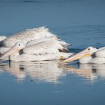 Three White Pelicans Pano