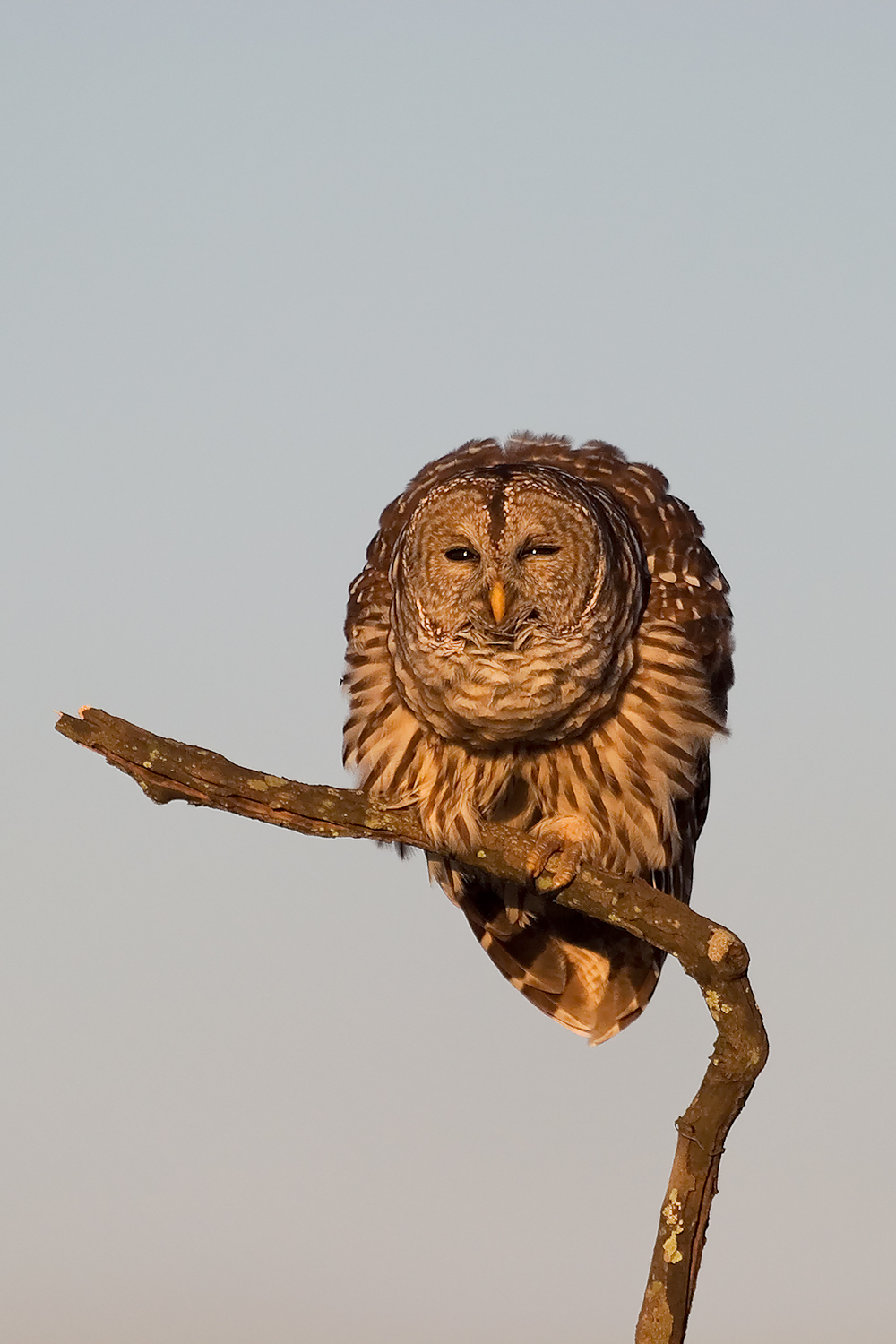 Barred Owl Poses