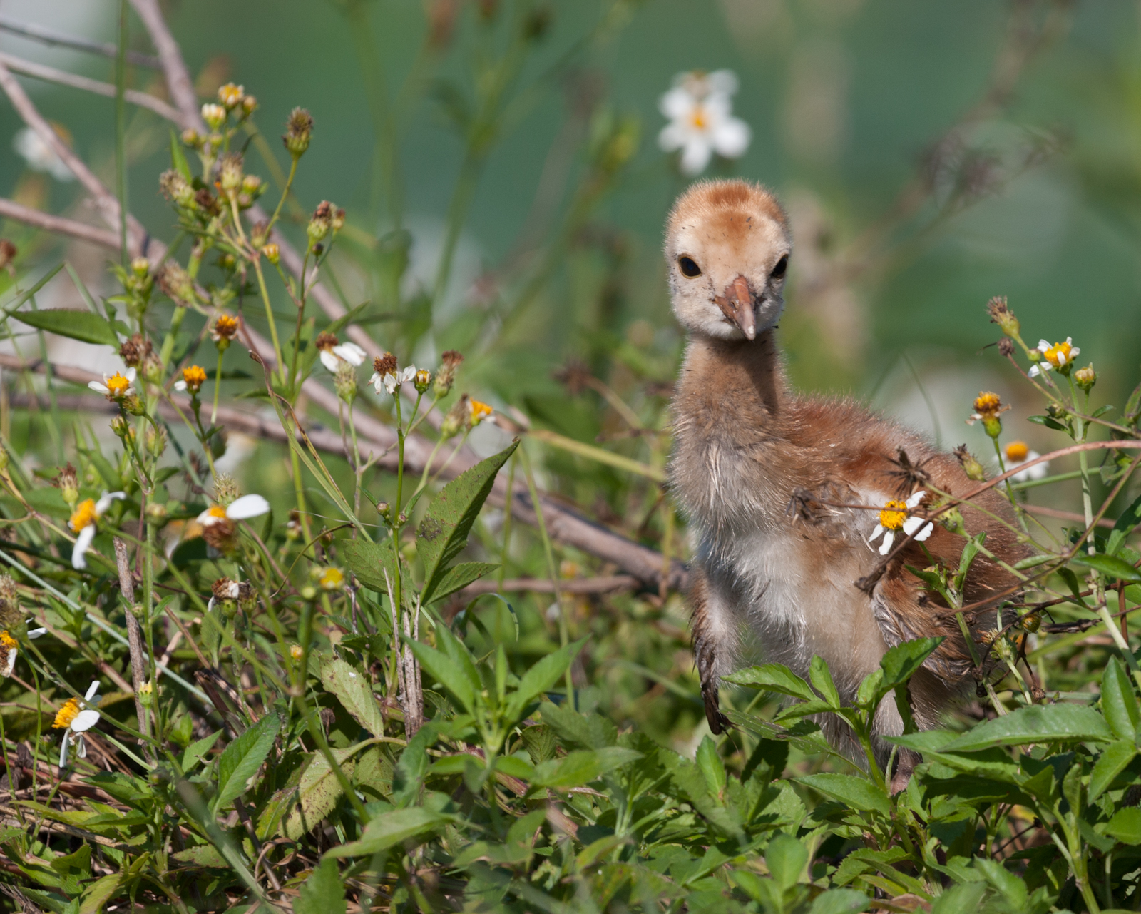 Baby Sandhill Crane in Flowers
