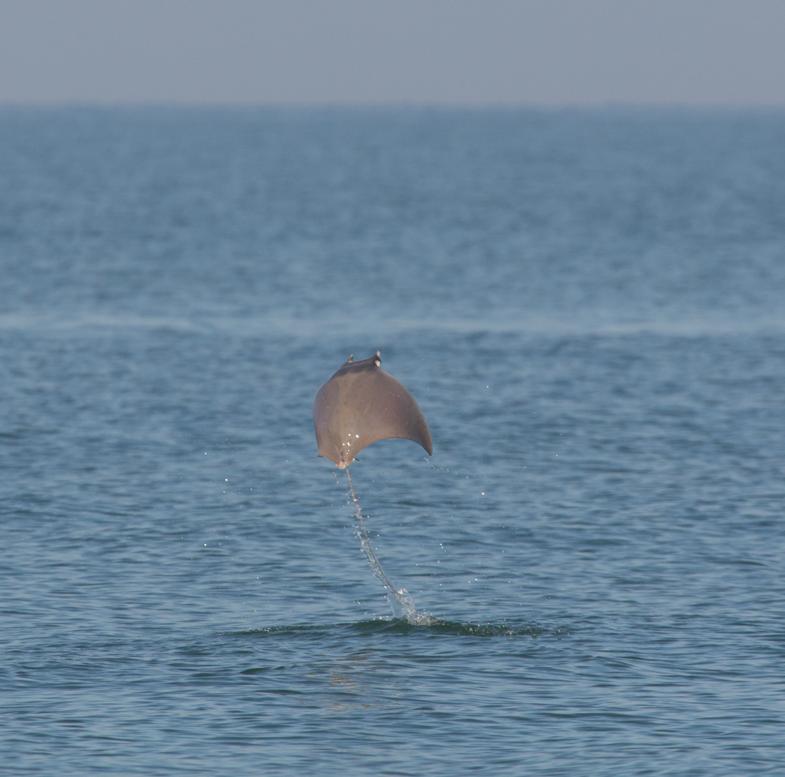 Devil Ray Jump part 2