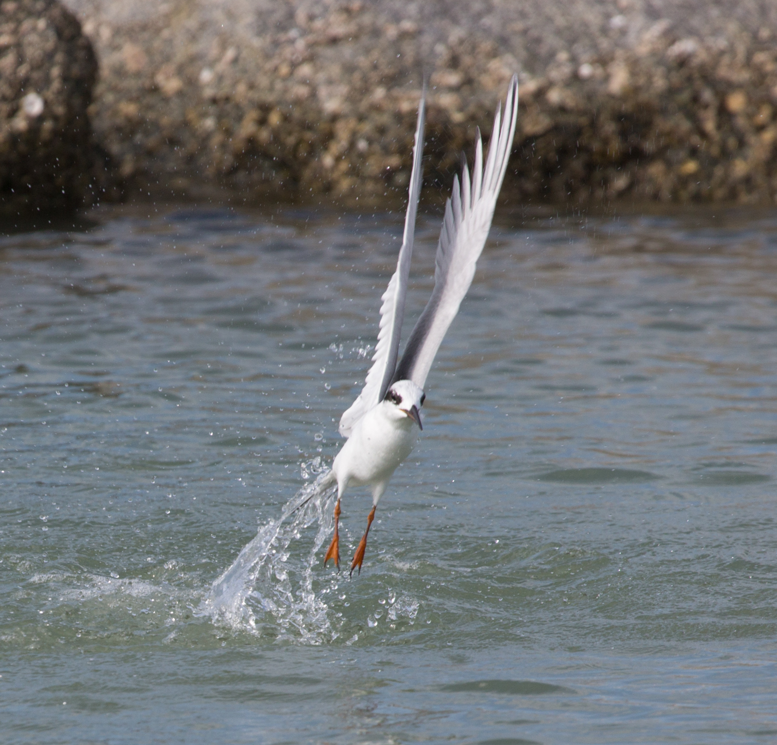 Forster's Tern Splash