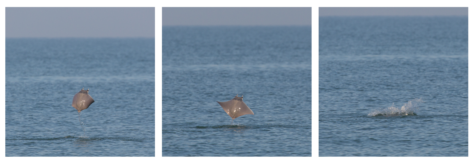 Jumping Devil Ray, Fort Desoto
