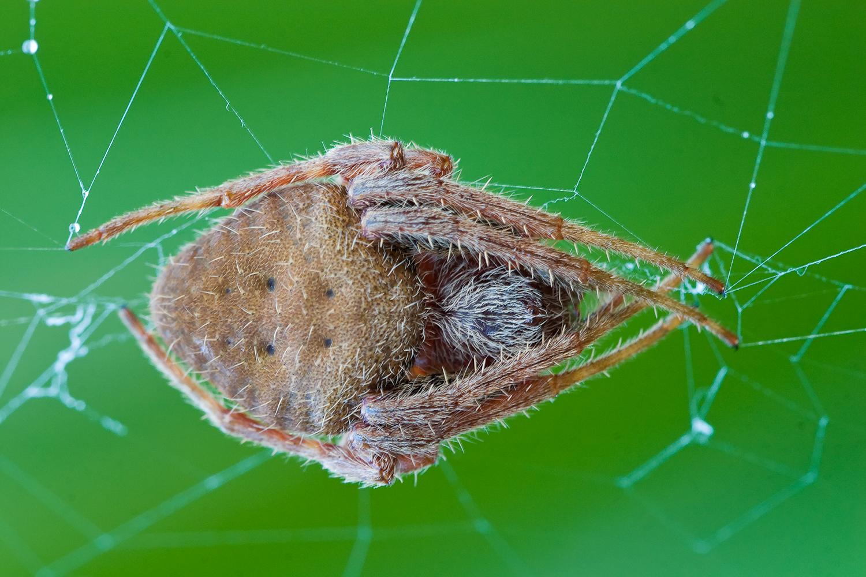 Florida Orbweaver Spiders