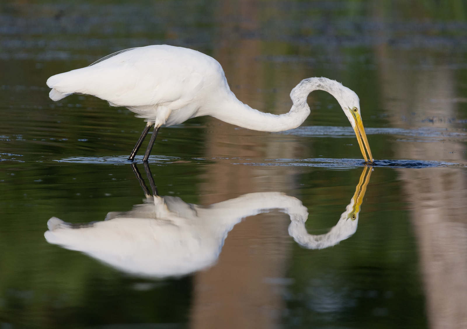 Great Egret Mirror Image