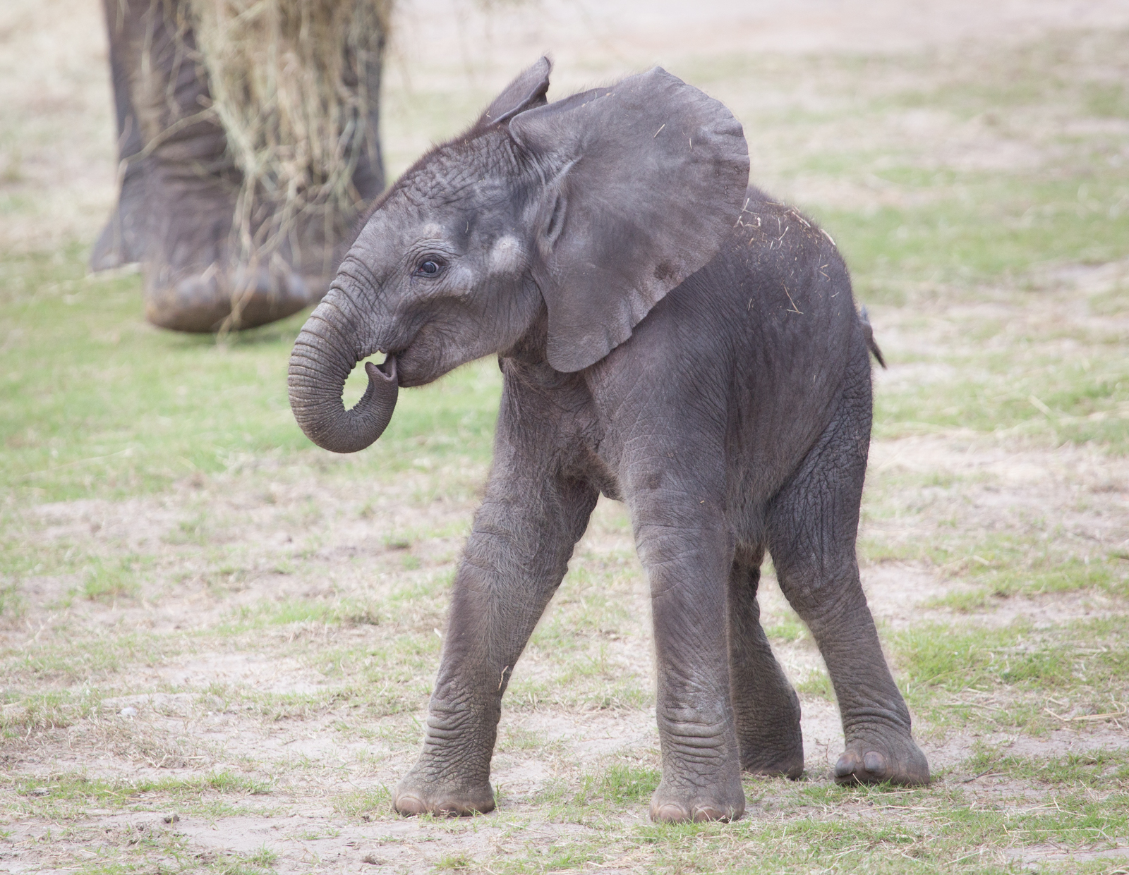 Baby African Elephant, Lowry Park Zoo