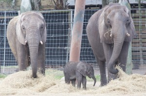 Baby African Elephant with Adults