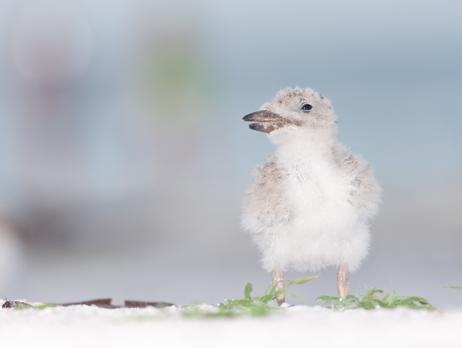 Baby Black Skimmers