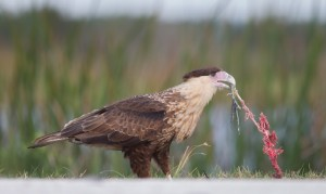 Crested Caracara with Breakfast