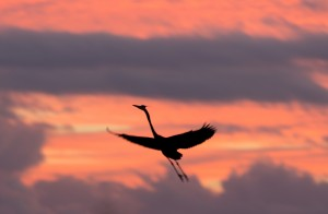 Great Blue Heron Silhouette in Flight