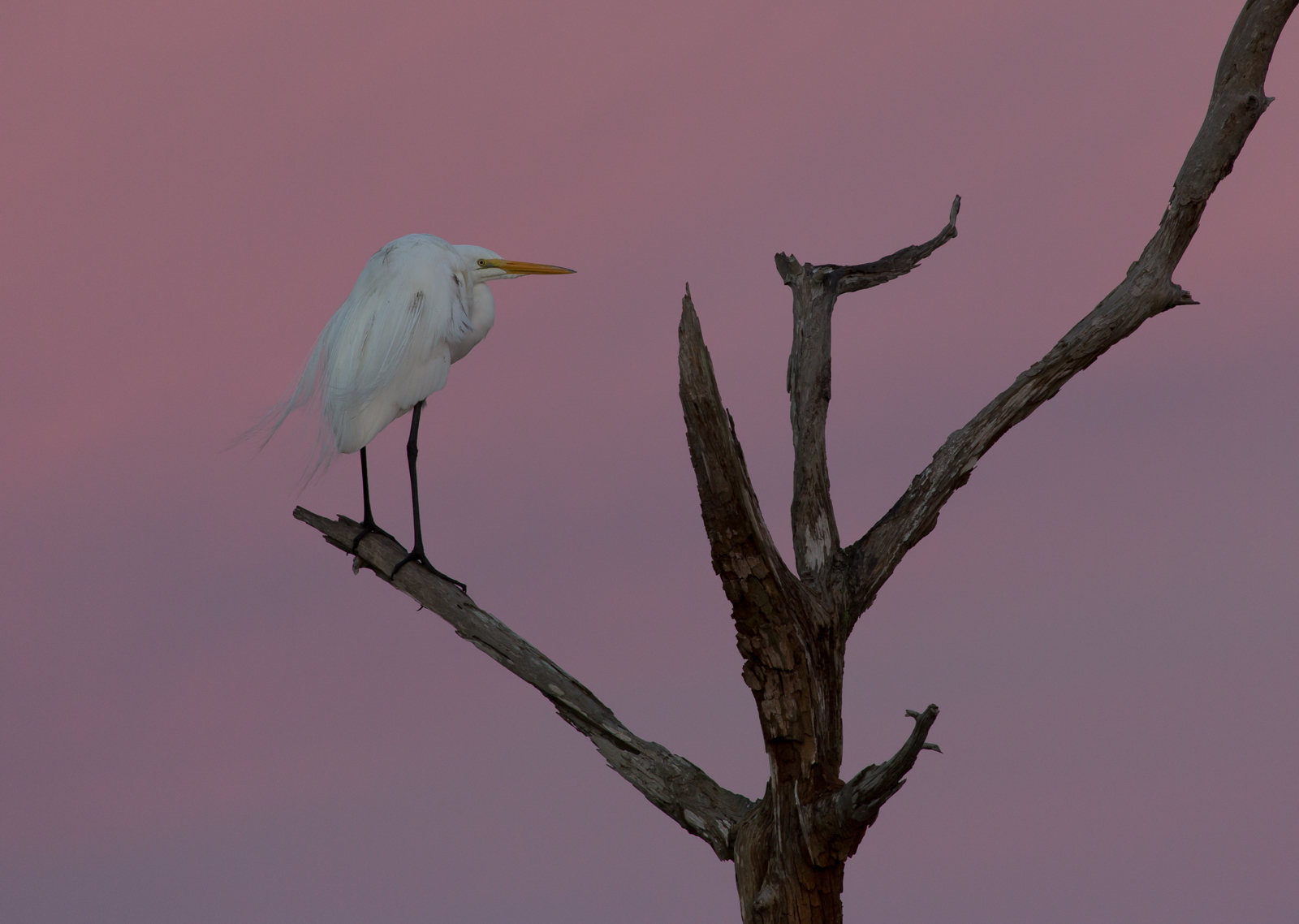 Great Egret with pink sky