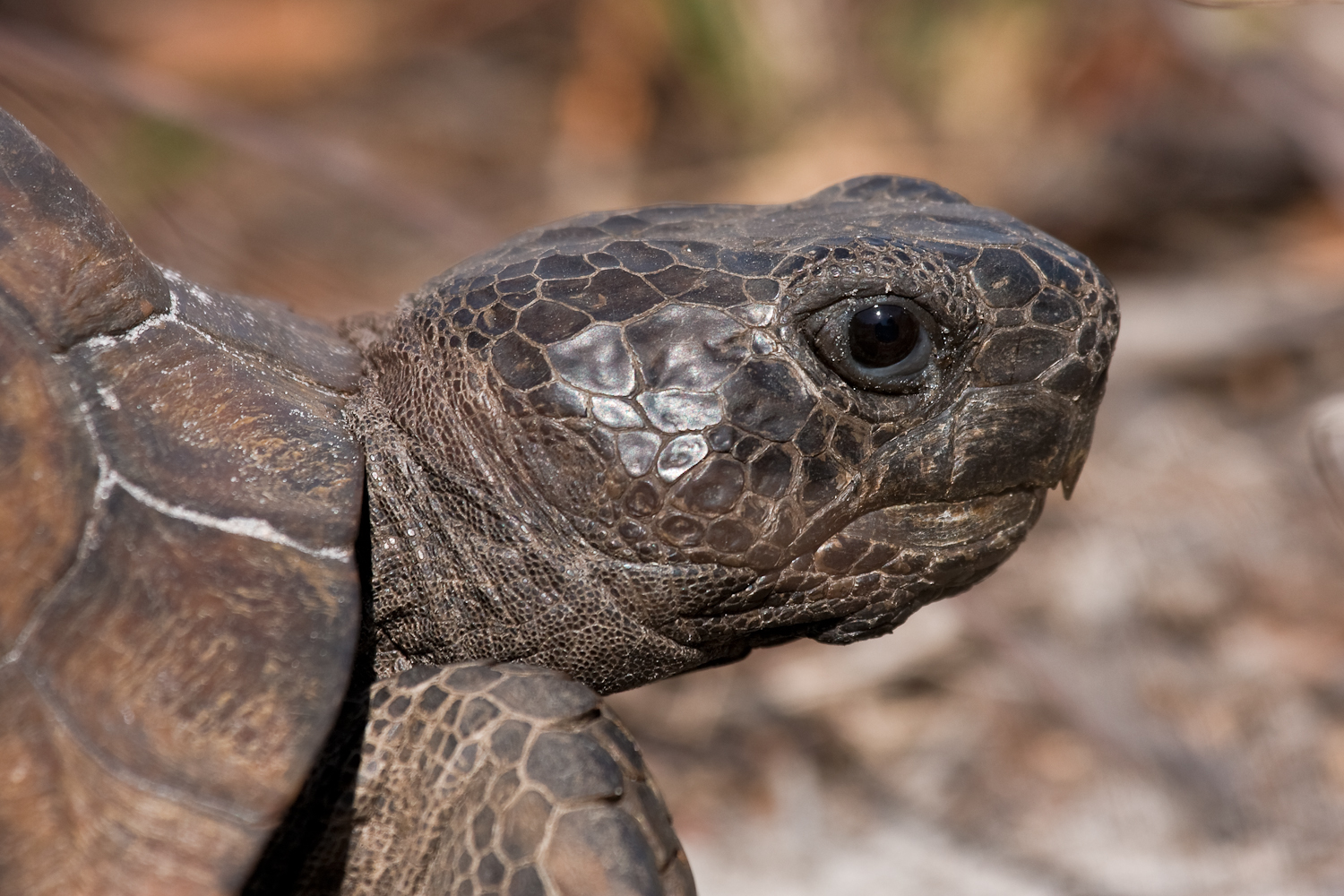Gopher Tortoise and Alligator at Dawn