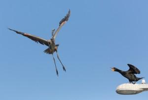 Great Blue Heron Versus Double Crested Cormorant