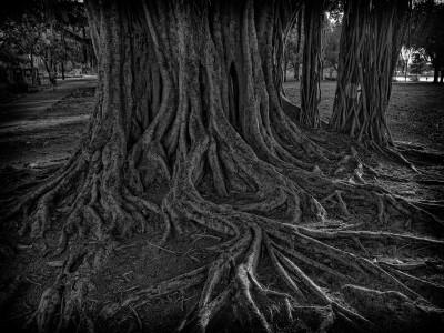Banyan Tree Roots BW
