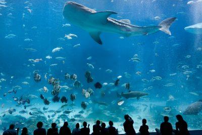 Whale Shark at Georgia Aquarium
