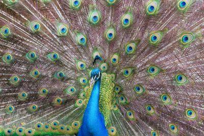 Peacock Full Screen