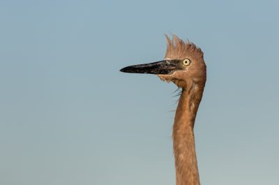 Reddish Egret Ruffled Portrait