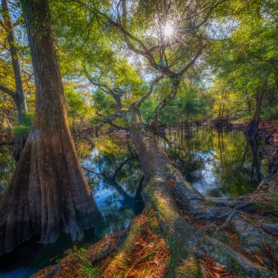 Tree over the Withlacoochee River, Dade City, Florida