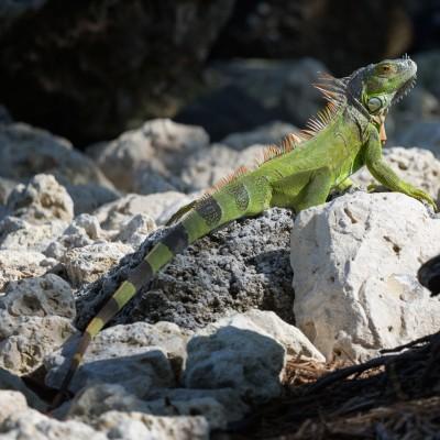 Little Palm Island Iguana, Florida Keys