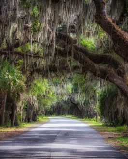 Myakka River State Park Canopy Over Road