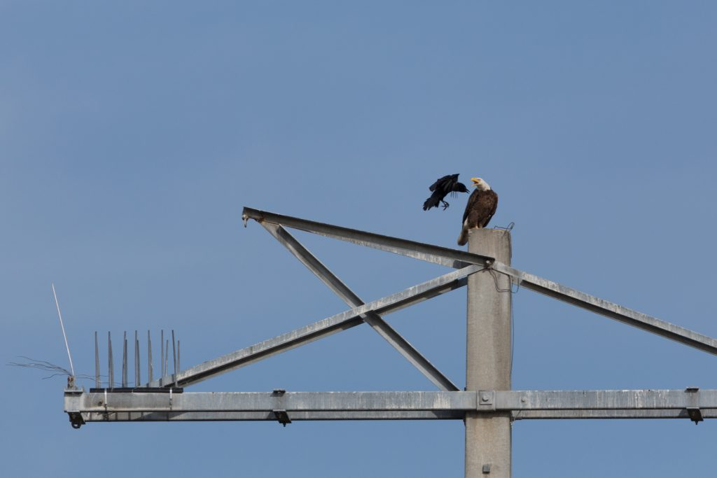 Bald Eagle Vs Crow, Myakka River State Park, Sarasota, Florida