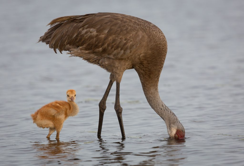 Sandhill Crane Chick and Parent, Myakka River State Park, Sarasota, Florida