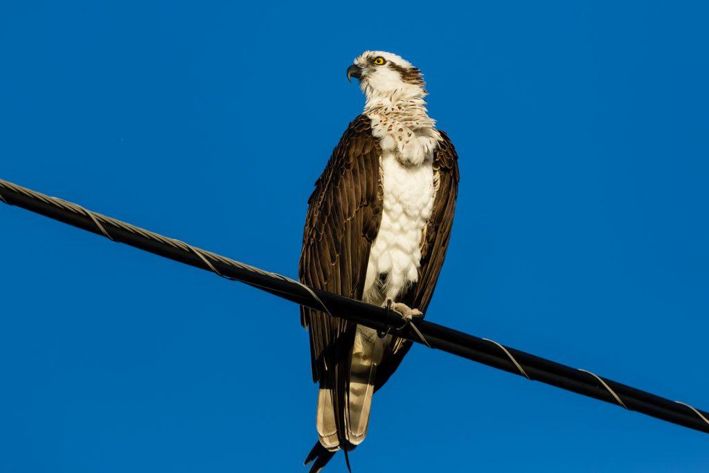 Osprey Ruffled, Fort Desoto, Tierra Verde, Florida