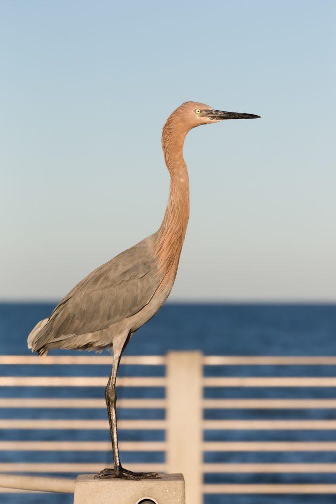 Reddish Egret Profile, Fort Desoto, Tierra Verde, Florida