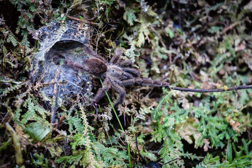 Tarantula, Pacuare Lodge, Costa Rica