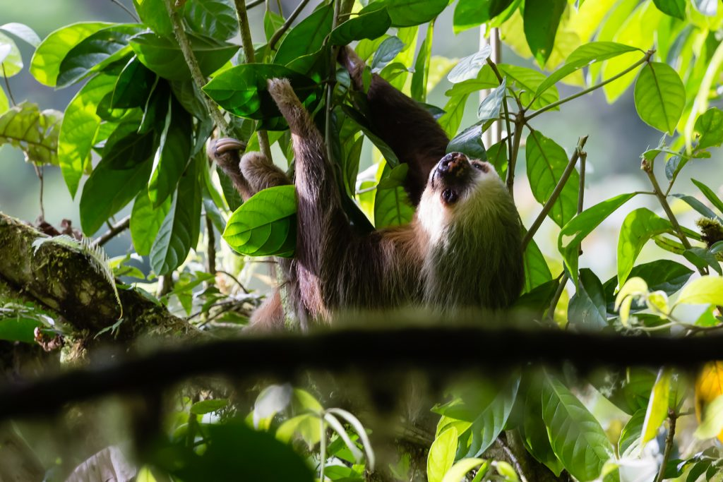 Hoffman's Two Toed Sloth