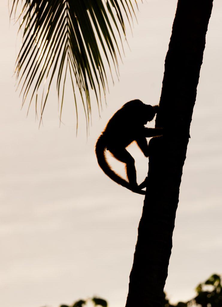 Monkey Silhouette, Lapa Rios Ecolodge, Costa Rica