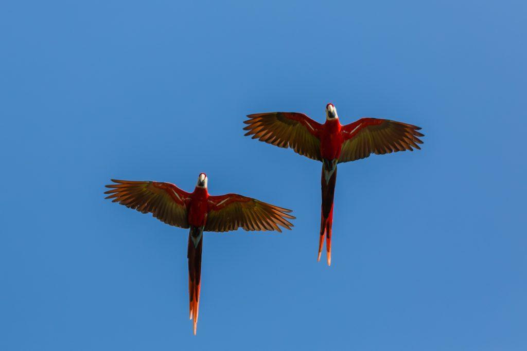 Scarlet Macaws in Flight, Osa Peninsula, Costa Rica