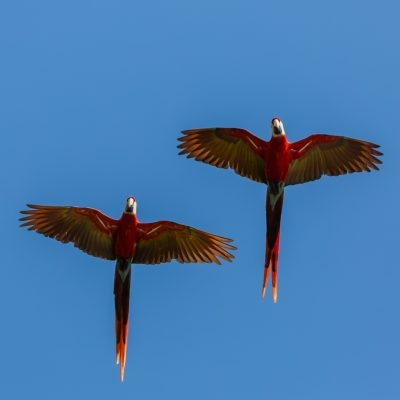 Scarlet Macaws in Flight, Osa Peninsula, Costa Rica