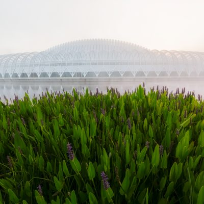 Pickerel Weed and Florida Polytechnic Institute in Fog, Lakeland, Florida