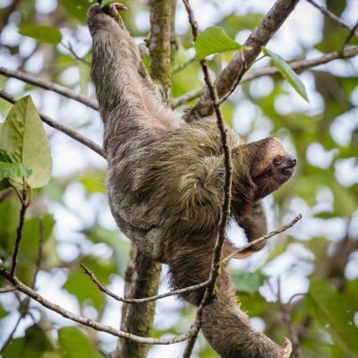 Scratching Sloth Nayara Hotel, La Fortuna, Costa Rica