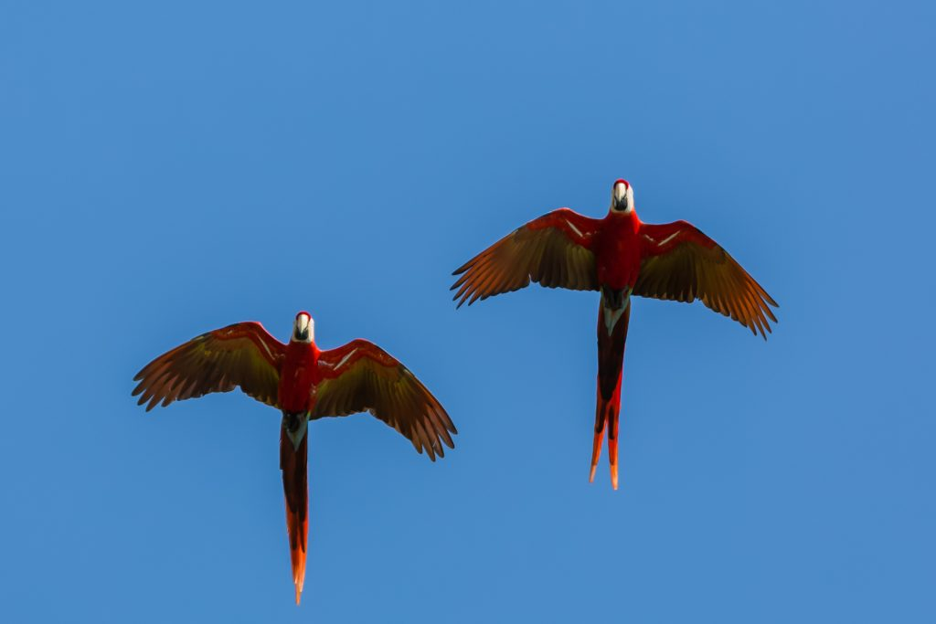 Scarlet Macaw Pair, Lapa Rios Ecolodge, Costa Rica