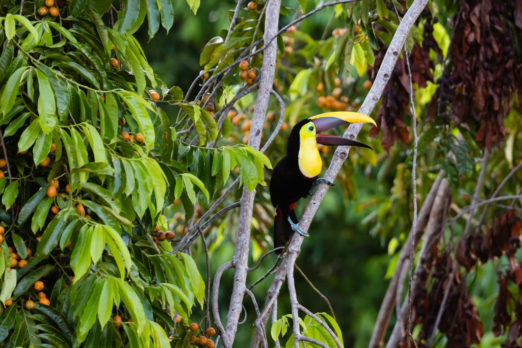Yellow-throated toucan, Lapa Rios Ecolodge, Osa Peninsula, Costa Rica