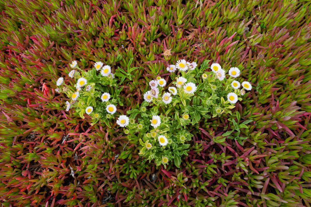 Garrapata State Park Wildflowers (2), Big Sur, California