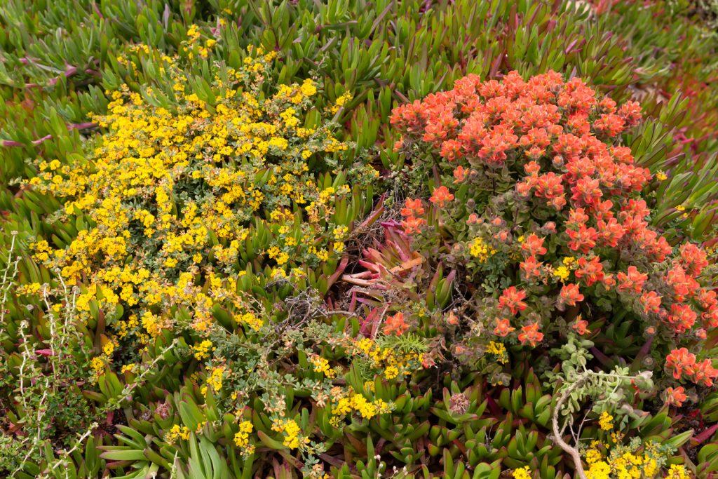 Garrapata State Park Wildflowers (3), Big Sur, California