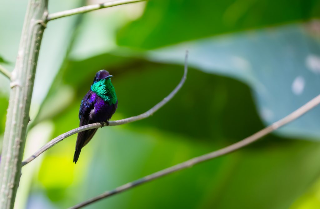 Violet-crowned Woodnymph, Pacuare Lodge, Costa Rica